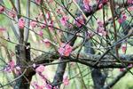 070204四季の森公園寒紅梅