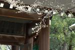 070321靖國神社�D一応桜