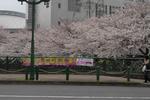 070331恩田川桜�B