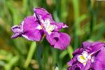 070617菖蒲&紫陽花?